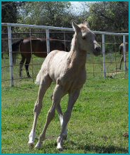 Palomino Filly3.26.16 014.jpg