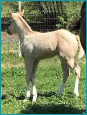 Palomino Filly 2.jpg
