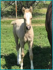 Palomino Filly.jpg